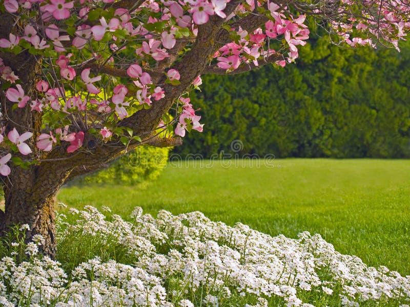 Paesaggio dell'albero di Dogwood fotografie stock libere da diritti