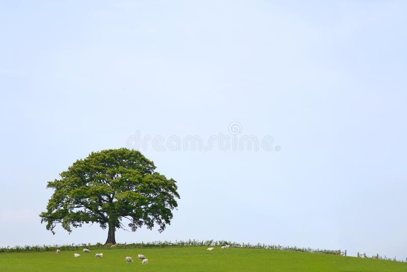 Paesaggio dell'albero di quercia fotografia stock libera da diritti