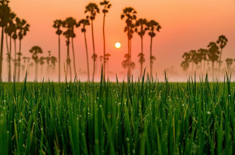 Paesaggio dell'azienda agricola del riso, bella destinazione Asia, Tailandia fotografia stock libera da diritti