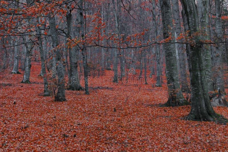 Paesaggio della foresta dell'albero di faggio immagine stock