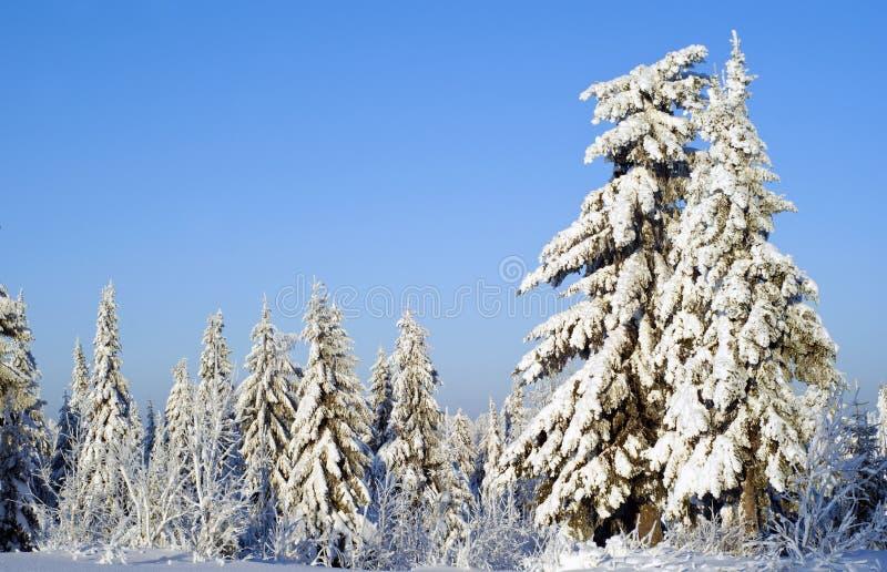 Paesaggio della foresta di inverno un chiaro giorno gelido: alberi coperti di neve di abbagliamento, contro un cielo blu immagini stock libere da diritti
