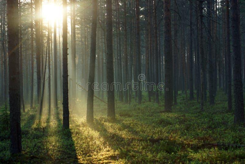 Paesaggio della foresta di mattina, con sole che passa attraverso i pini alti fotografia stock