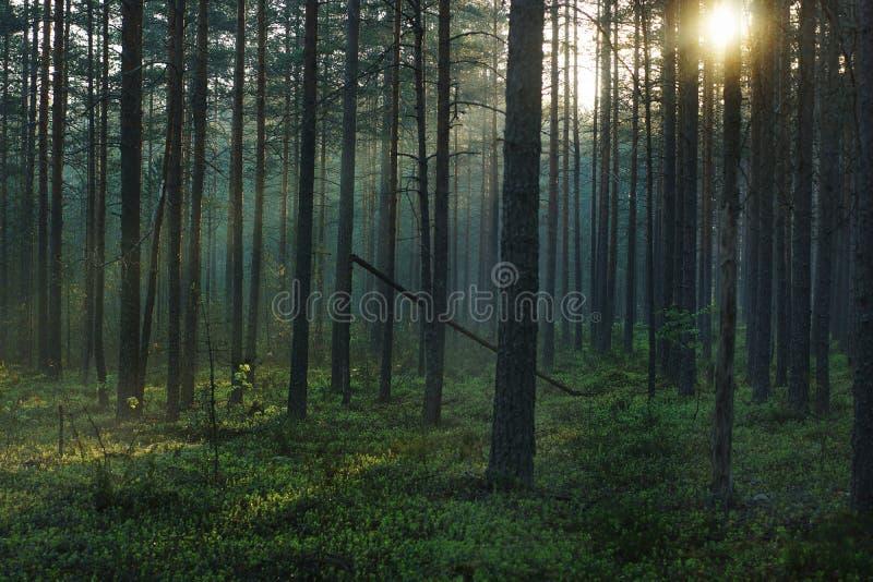 Paesaggio della foresta di mattina, con sole luminoso che passa attraverso i pini alti fotografia stock libera da diritti