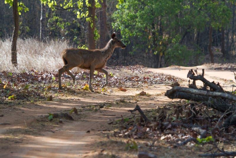 Paesaggio della giungla con i cervi del Sambar fotografia stock