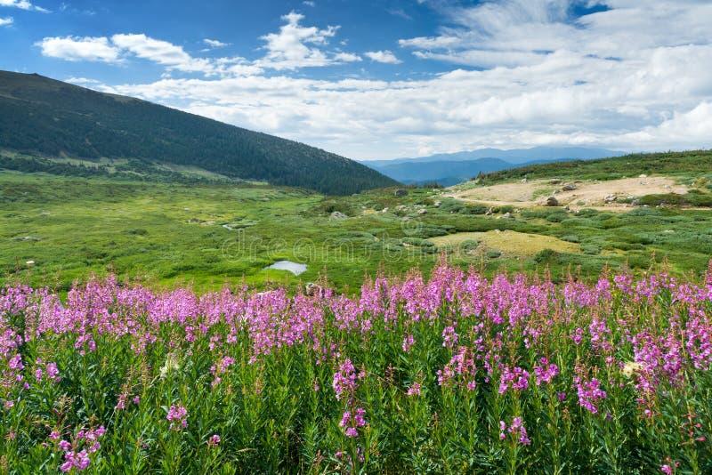 Paesaggio della montagna di estate dei fiori selvaggi immagini stock