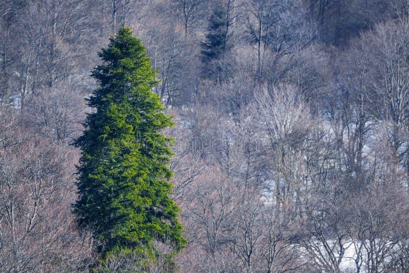 Paesaggio della montagna di inverno con il grande albero di abete fotografia stock