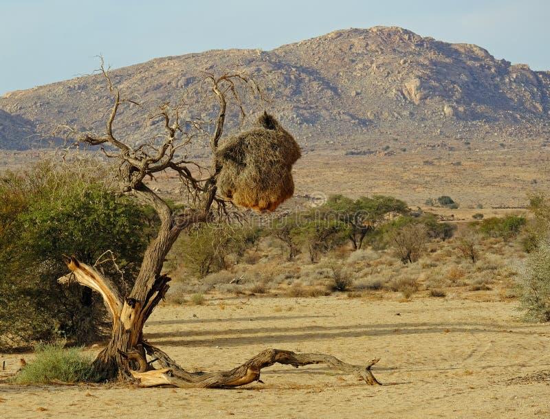 Paesaggio della Namibia con l'albero morto della bufalo-spina ed il nido socievole del tessitore fotografie stock