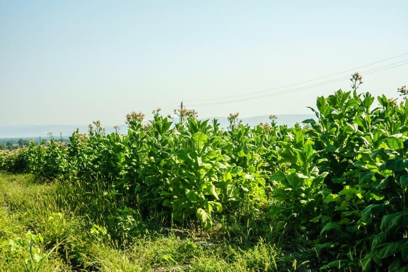 Paesaggio della pianta del campo di tabacco Molte piante di tabacco fotografia stock libera da diritti