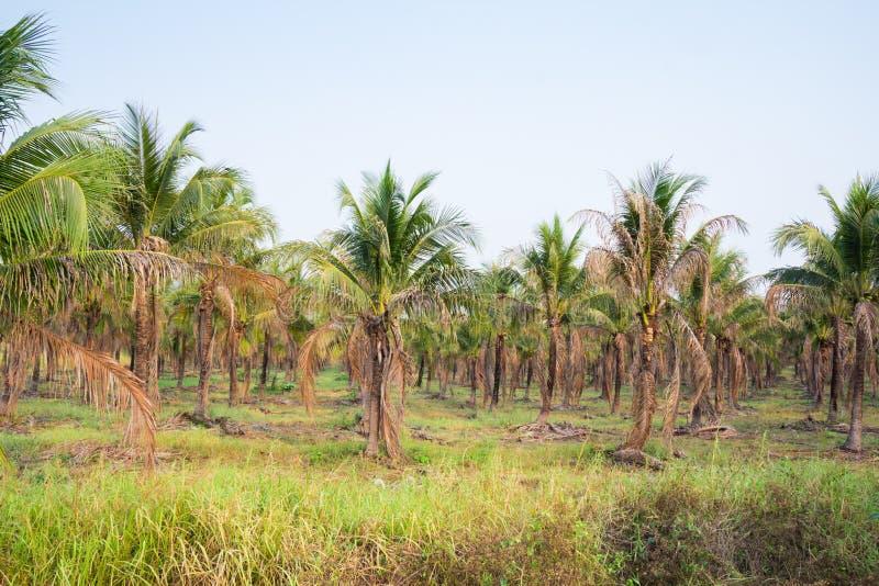 paesaggio della piantagione del cocco in paese tropicale fotografie stock libere da diritti
