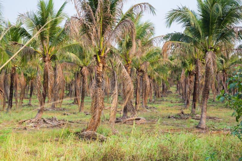 paesaggio della piantagione del cocco in paese tropicale immagini stock