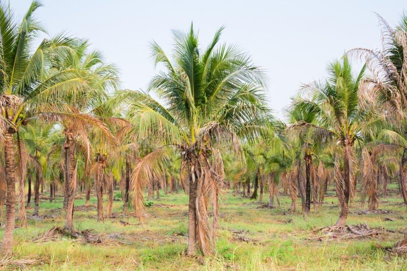 paesaggio della piantagione del cocco in paese tropicale fotografia stock libera da diritti