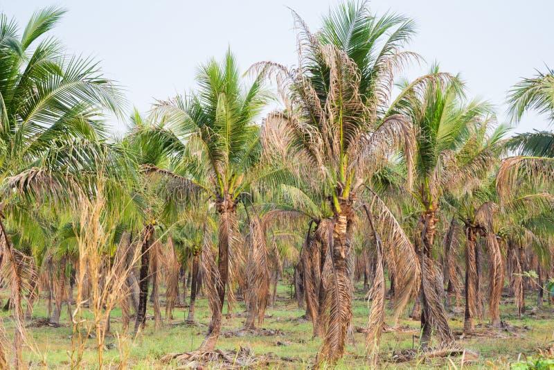paesaggio della piantagione del cocco in paese tropicale fotografia stock