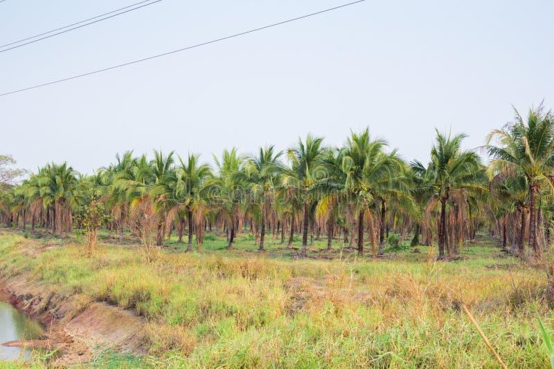 paesaggio della piantagione del cocco in paese tropicale fotografie stock
