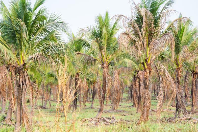paesaggio della piantagione del cocco in paese tropicale immagini stock libere da diritti