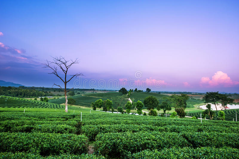 Download Paesaggio Della Piantagione Di Tè Immagine Stock - Immagine di campagna, terra: 55354531