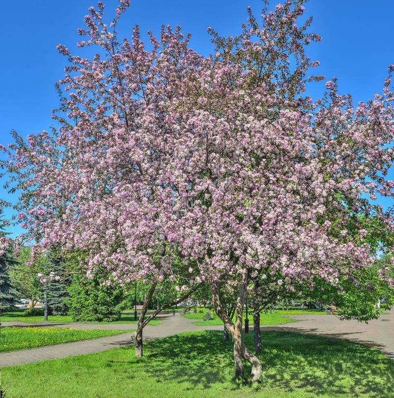 Paesaggio della primavera con di melo sboccianti di rosa nel parco della città immagini stock libere da diritti