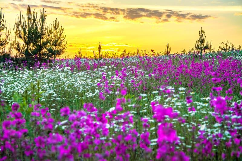 Paesaggio della primavera con i fiori selvaggi di fioritura in prato e nell'alba immagine stock