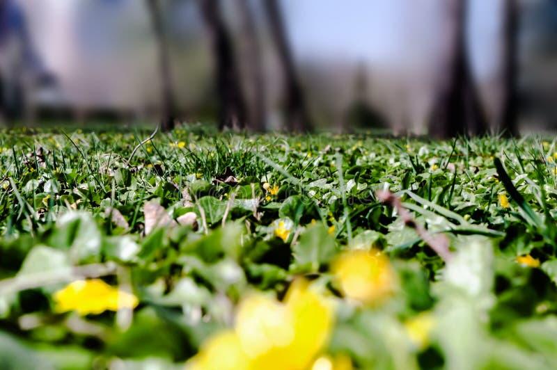 Paesaggio della primavera con la radura della foresta, l'erba verde ed i fiori gialli fotografie stock
