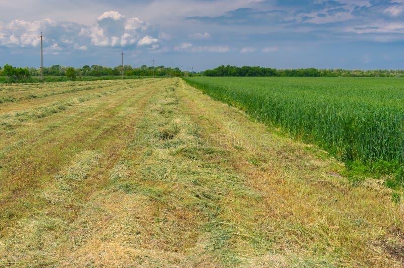 Paesaggio della primavera con le file di giovane grano falciato utilizzando come foraggio in Ucraina fotografie stock