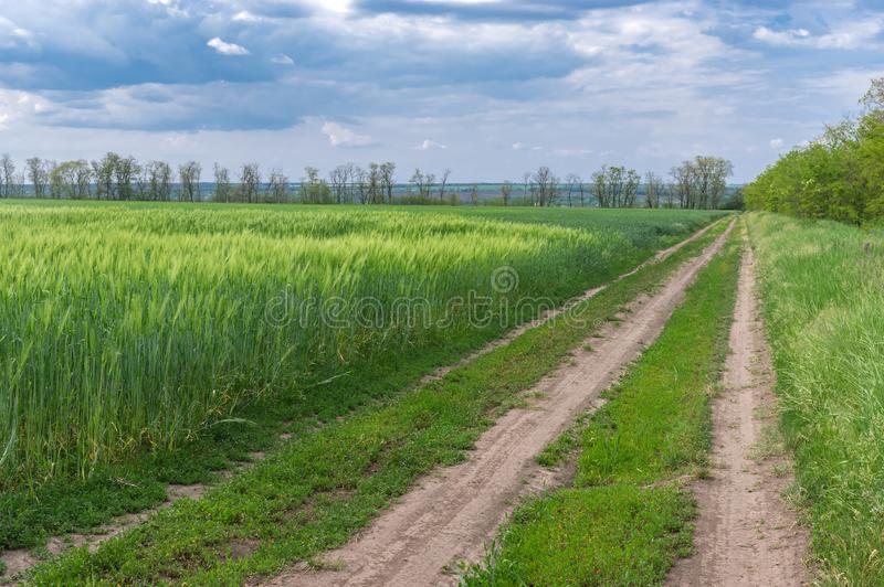 Paesaggio della primavera con una strada sterrata accanto al giacimento agricolo del grano fotografia stock