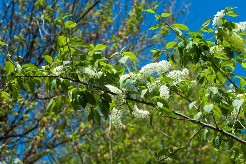 Paesaggio della primavera, fiori della ciliegia di uccello Ciliegia di uccello di fioritura fotografia stock