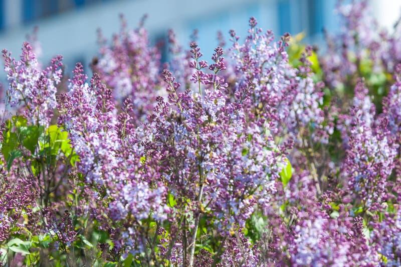 Paesaggio della primavera, lillà Ramo della primavera del lillà sbocciante Purp fotografia stock libera da diritti