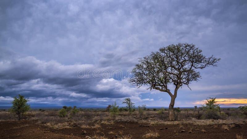 Paesaggio della savana nel parco nazionale di Kruger, Sudafrica immagine stock libera da diritti