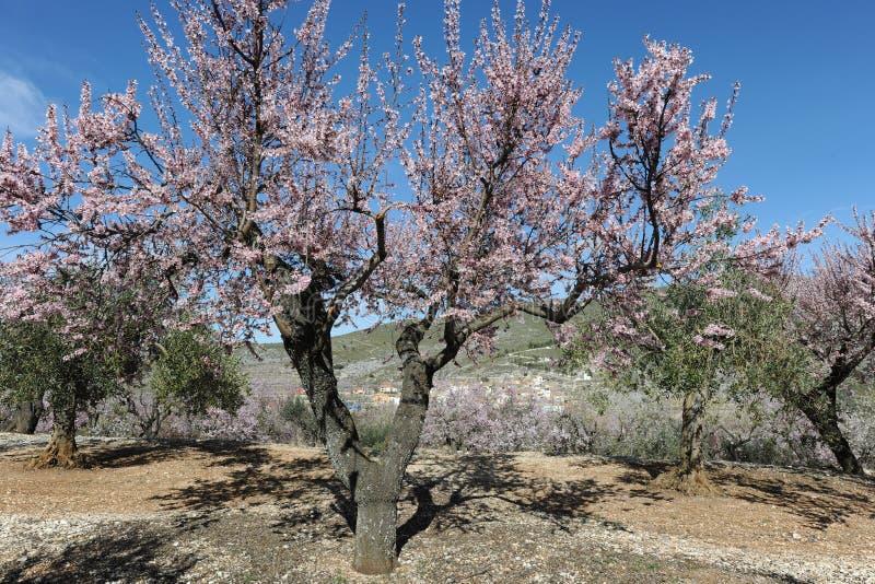 Paesaggio della sorgente Mandorli coperti in fiore rosa profumato delicato fotografie stock libere da diritti
