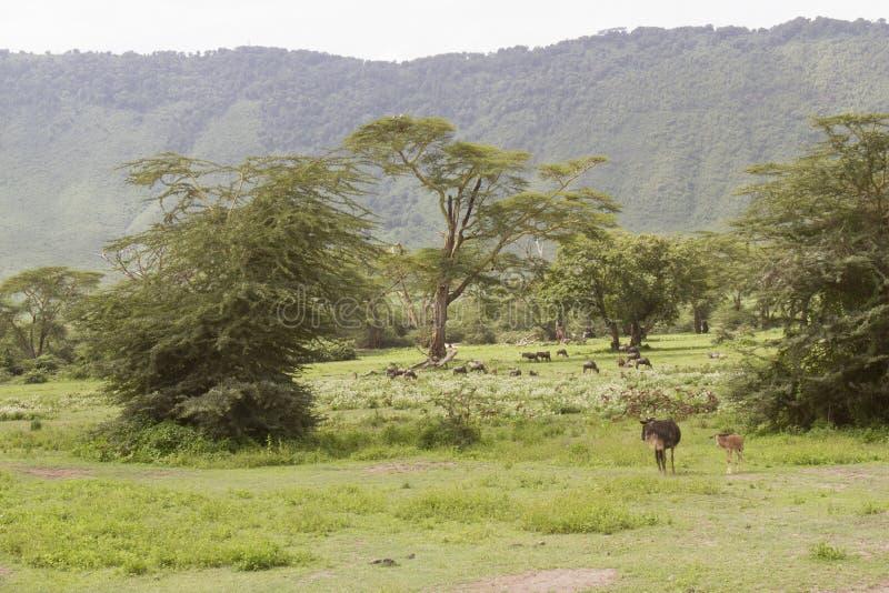 Paesaggio dello gnu, cratere di Ngorongoro, Tanzania fotografia stock libera da diritti