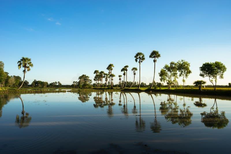 Paesaggio di alba con gli alberi della palma da zucchero sulla risaia nella mattina Delta del Mekong, documento di Chau, An Giang immagini stock libere da diritti