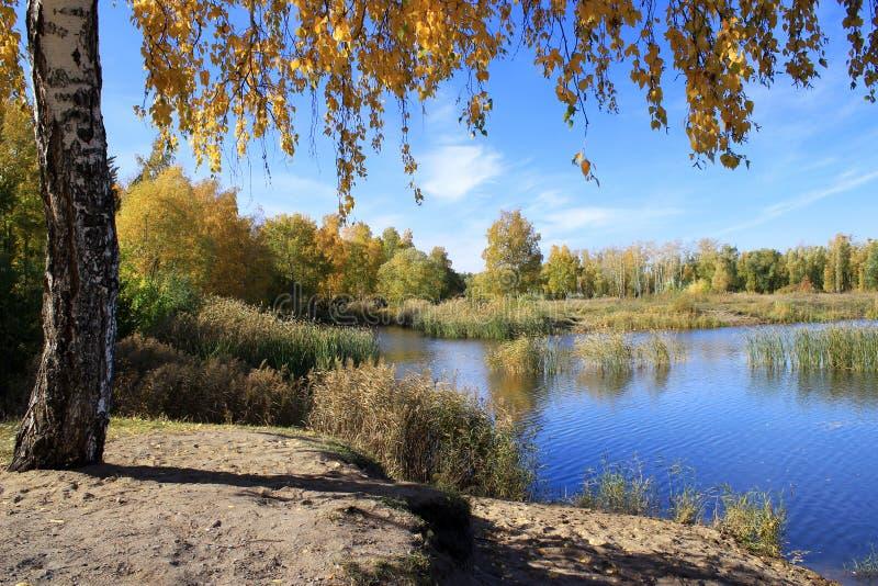 Paesaggio di autunno - betulla dell'oro vicino allo stagno fotografie stock