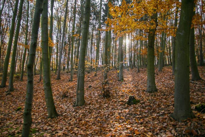 Paesaggio di autunno con gli alberi di faggio fotografie stock libere da diritti