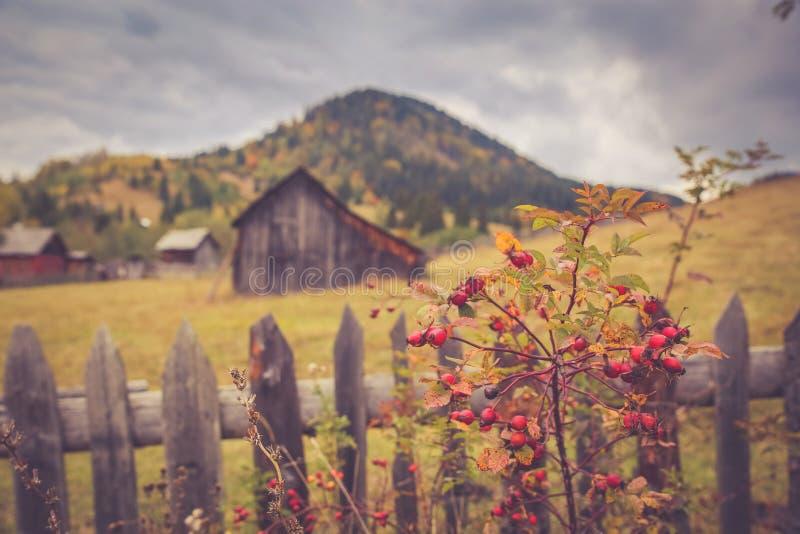 Paesaggio di paesaggio di autunno con la foresta variopinta, i granai di legno dei recinti, del cinorrodo e del fieno in Bucovina immagine stock