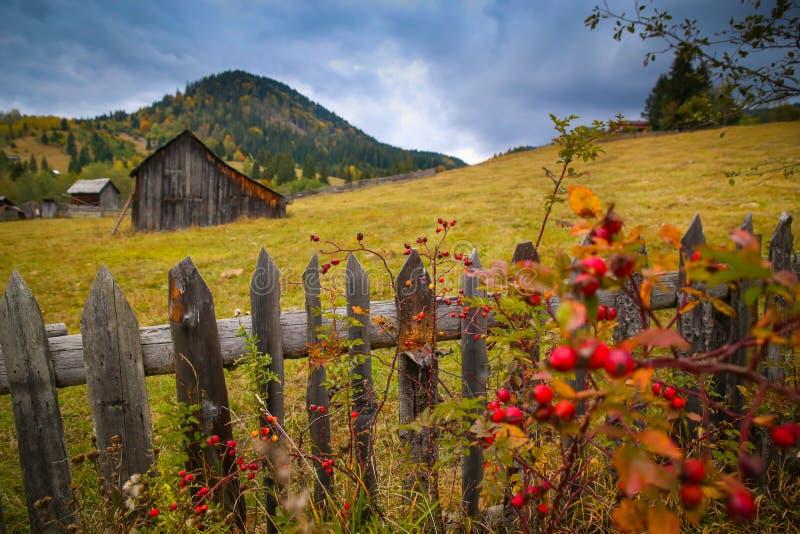 Paesaggio di paesaggio di autunno con la foresta variopinta, i granai di legno dei recinti, del cinorrodo e del fieno in Bucovina fotografia stock libera da diritti
