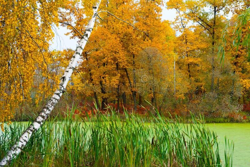 Paesaggio di autunno della betulla e di uno stagno immagini stock