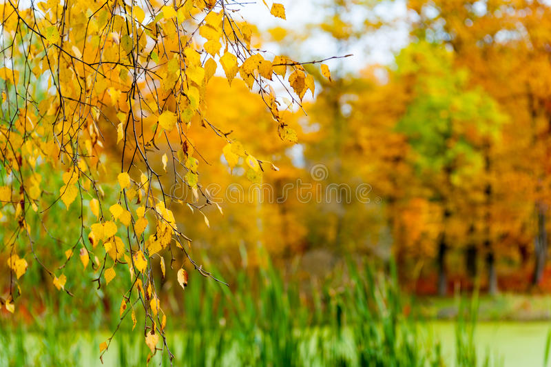 Paesaggio di autunno della betulla e di uno stagno fotografia stock libera da diritti