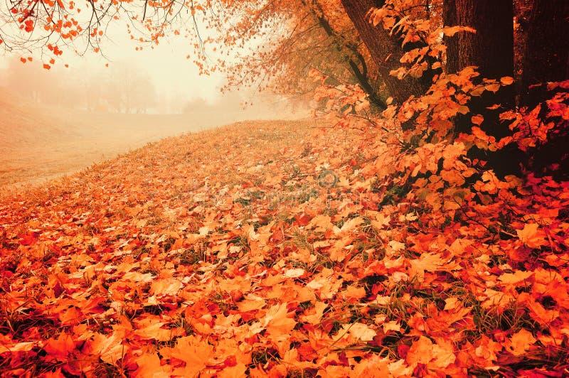 Paesaggio di autunno in tempo nebbioso - parco abbandonato con le foglie di acero cadute rosse sulla priorità alta fotografie stock