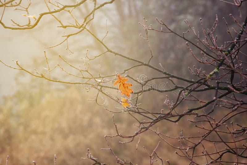 Paesaggio di autunno - ultima foglia della quercia sul ramo coperto di brina fotografia stock
