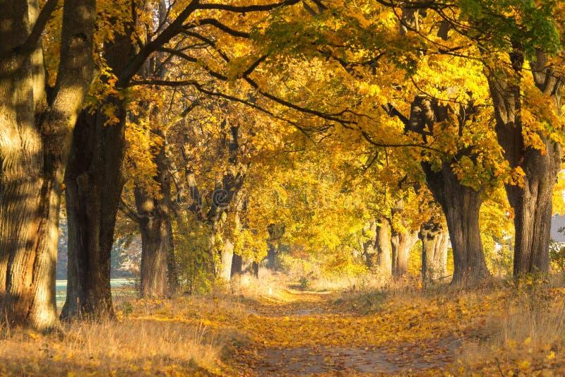 Paesaggio di caduta Scena di autunno Foresta dell'acero immagine stock libera da diritti