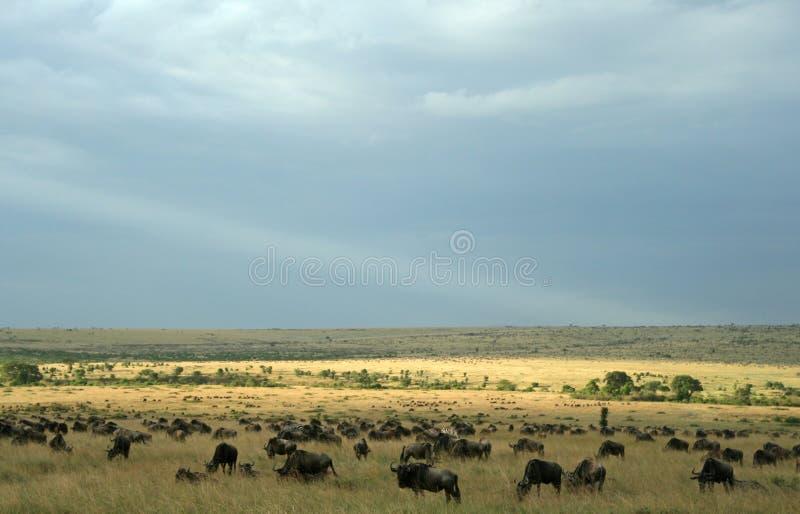 Paesaggio di espansione del Wildebeest immagini stock