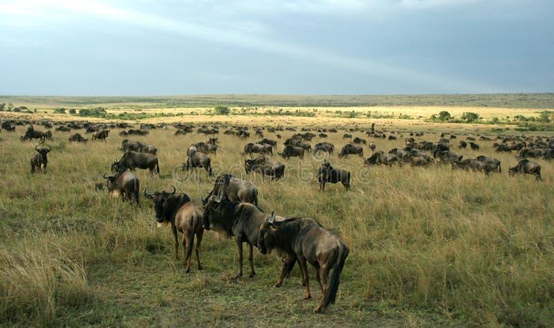Paesaggio di espansione del Wildebeest immagine stock libera da diritti
