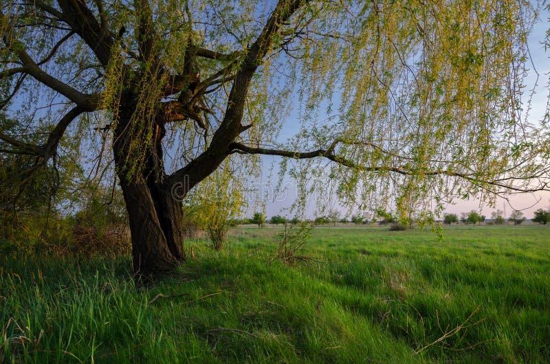 Paesaggio di estate che mostra il vecchio albero di salice sul prato al crepuscolo immagini stock libere da diritti