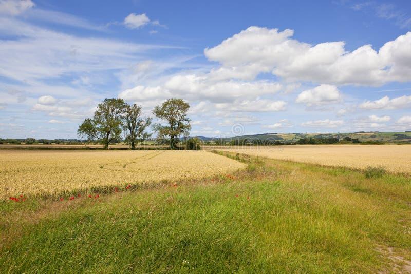 Paesaggio di estate con tre alberi di cenere immagine stock