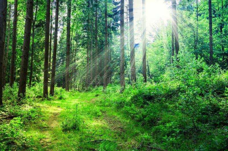 Paesaggio di estate della montagna gli alberi si avvicinano al prato ed alla foresta sulle colline fotografia stock libera da diritti