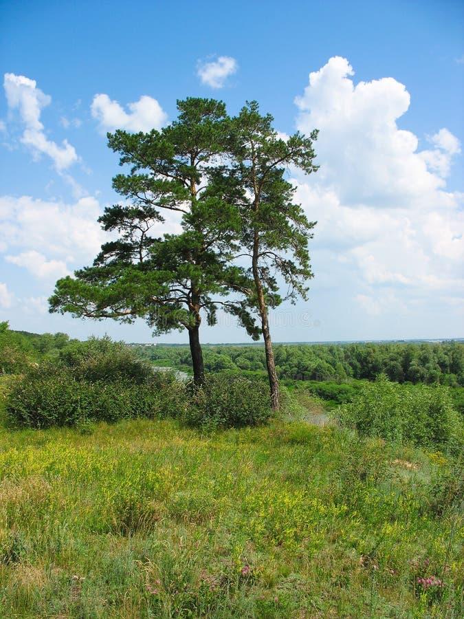 Paesaggio di estate. Due pino-alberi su una banca ripida fotografia stock