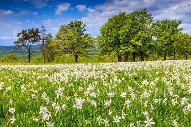 Paesaggio di estate e fiori bianchi dei narcisi fotografie stock libere da diritti