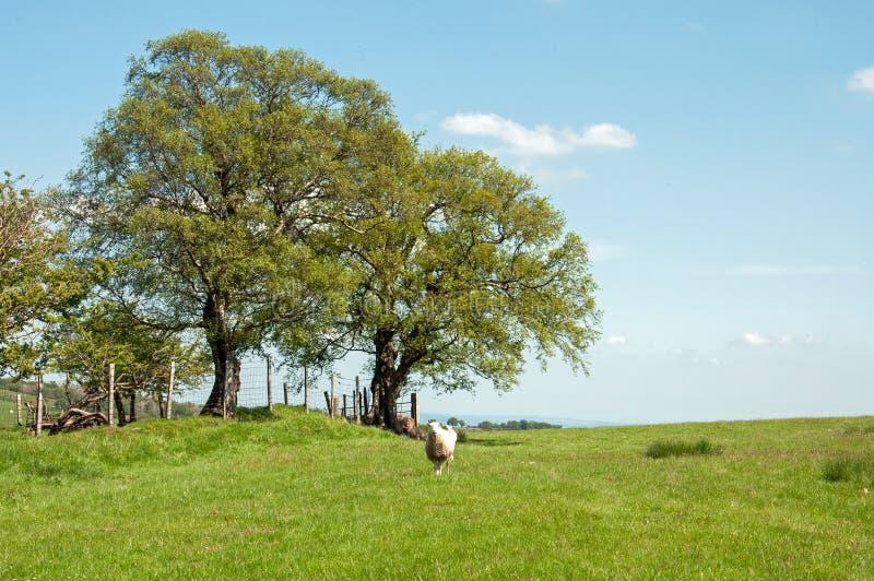 Paesaggio di estate ed alcune pecore nelle montagne nere della campagna inglese fotografia stock libera da diritti