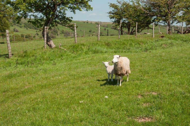 Paesaggio di estate ed alcune pecore nelle montagne nere della campagna inglese fotografia stock