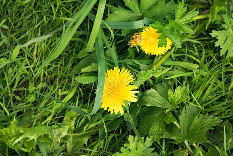 Paesaggio di estate, parco, denti di leone lanuginosi gialli fra erba succosa spessa fotografia stock libera da diritti