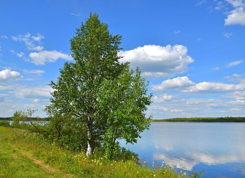 Paesaggio di ESTATE Riva del lago del Nord con la betulla e le fienarole dei prati fotografie stock libere da diritti